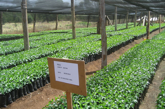 Photo of potted coffee tree seedlings in a nursery